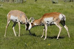These young pronghorn bucks were doing a little sparring.