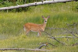 We saw this beautiful deer on a hike that Phil Knight recommended to us.  I believe it was called the Storm Point trail.  It was a really beautiful hike and we saw a couple deer, some marmot and a couple bison along the way.