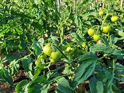 Dworski ogród - pomidory