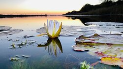 Lilies on the Boteti river at Drifters Maun.