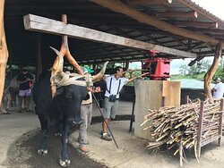 Harnessed bull walks in circles to squeeze the liquid from sugar cane and make a drink called Guarapo.
