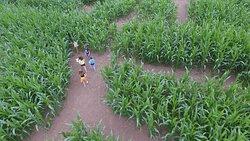 Children in Staunton Maize Maze