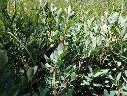 Huckleberries in McGurk Meadow