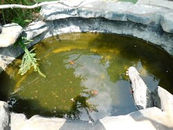 Another Koi pond