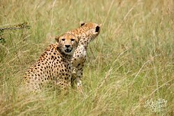 How lucky were we to see Cheetahs on our way from the airstrip to camp!!