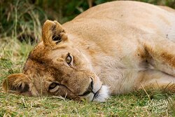 Lots of lazy lions!