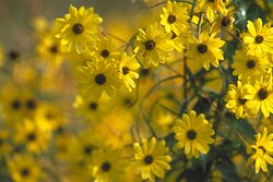 Narrow-leaved sunflowers, often mistaken for Black-Eyed Susans, bloom profusely in the first couple of weeks of October welcoming fall.