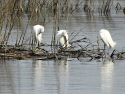 Snowy egrets preen in the afternoon breeze.