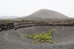De druiven direct naast de bodega (geen wolken maar Sahara-stof in de lucht tijdens de Calima)