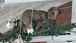 Из этого животного вышли зерна Копи Лювак))