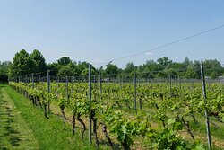Onze eigen wijngaard