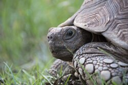 One of our 10 Leopard Tortoise