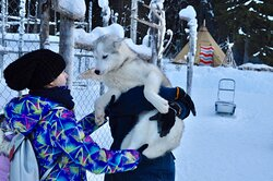 We will go to see husky dogs in Lapland!