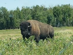 Star of the show - the bison.