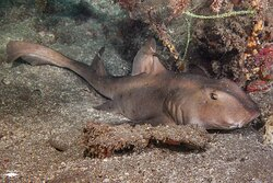 Horn sharks are commonly seen during winter and spring.