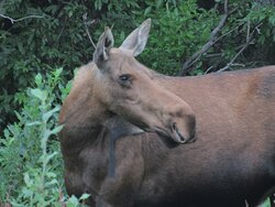 Mother of the young moose in the associated photo.