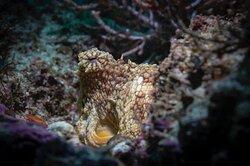 Octopus always close to us.  Los Arcos  https://www.facebook.com/BanderasScuba . . . . . . . . . #BanderasScuba #Banderasscubarepublic #PVScuba #PADI #PVPADI #PADI5star #ScubaVallarta #pvscubadiving #PuertoVallarta #BuceoPuertoVallarta #vivanaturamexico #vivanatura #divepv #lovenature #visitpv