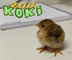 Pollo de faisán dorado