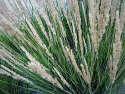Pampas Grass, decorating the outdoor Grand Prairie mall. August 2021