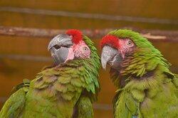 Curious Macaw pair