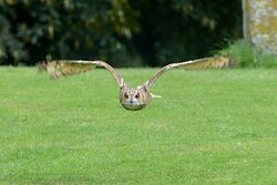 Gull winged owl