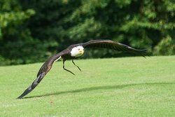 Low flying eagle