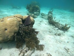 Hog fish blending in with the corals