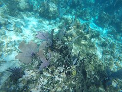 Purple sea fan along with variety of corals