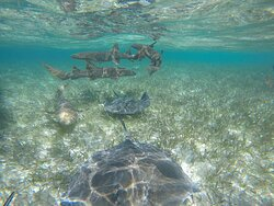 Nurse sharks and southern sting rays