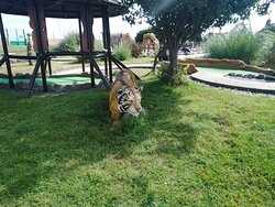 Tiger in the Adventure Golf