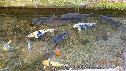 綺麗な水路には鯉がいっぱい!
