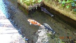 鯉が泳ぐ綺麗な水路