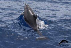 Bottlenose dolphins. OceanExplorer La Palma