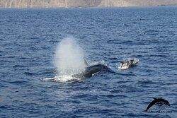 Bryde's whale & Bottlenose dolphins. OceanExplorer La Palma