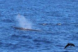Bryde's whale. OceanExplorer La Palma