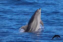 Bottlenose dolphin. OceanExplorer La Palma
