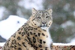 Karli the Snow Leopard enjoying some Northumberland Snow.