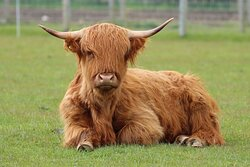Martha the Highland Cow takes a break at Northumberland Zoo.