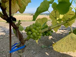 Wine grapes fence
