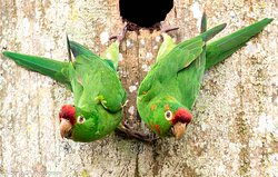 Green parrots! This cute couple loves to hang out up on our trees.