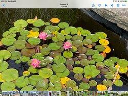 Lily pond Trapp Gardens