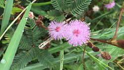 Mimosa Pudica flowers (Shy Plant)