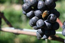 L'ape, custode della biodiversità, gioca un ruolo fondamentale per la sostenibilità in vigneto🐝