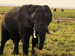 The number of elephants at Amboseli is astounding.  Incredible, up close encounters with these magnificent animals.