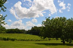 Chateau Masburel Vineyard