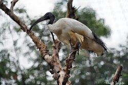 Ibis sagrado en mundomar con Charo Tainta