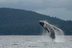 Humpback whale named Hammer breaching