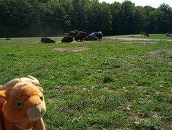 Jake watching Buffalo at Hidden Valley Animal Adventure