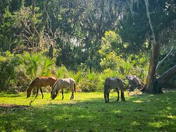 A few of the many horses on the island
