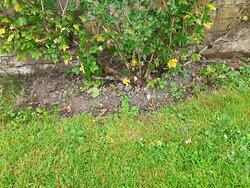 Espallied fruit tree